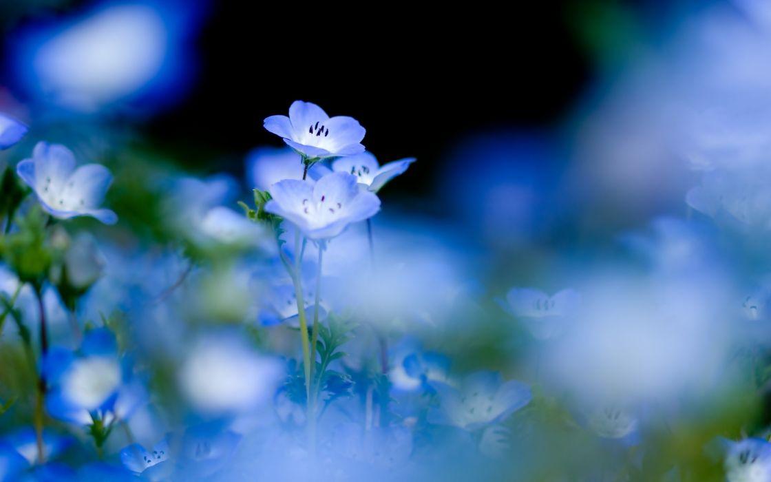 Blue flowers on a gentle background wallpaper