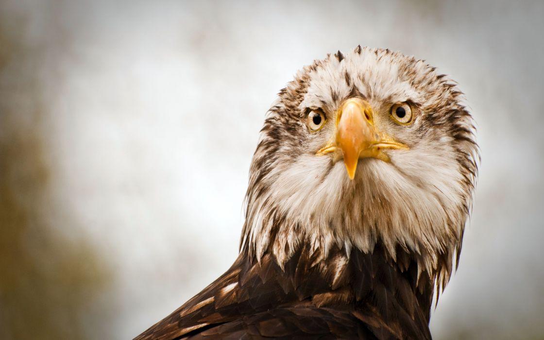 Eagle stare wallpaper