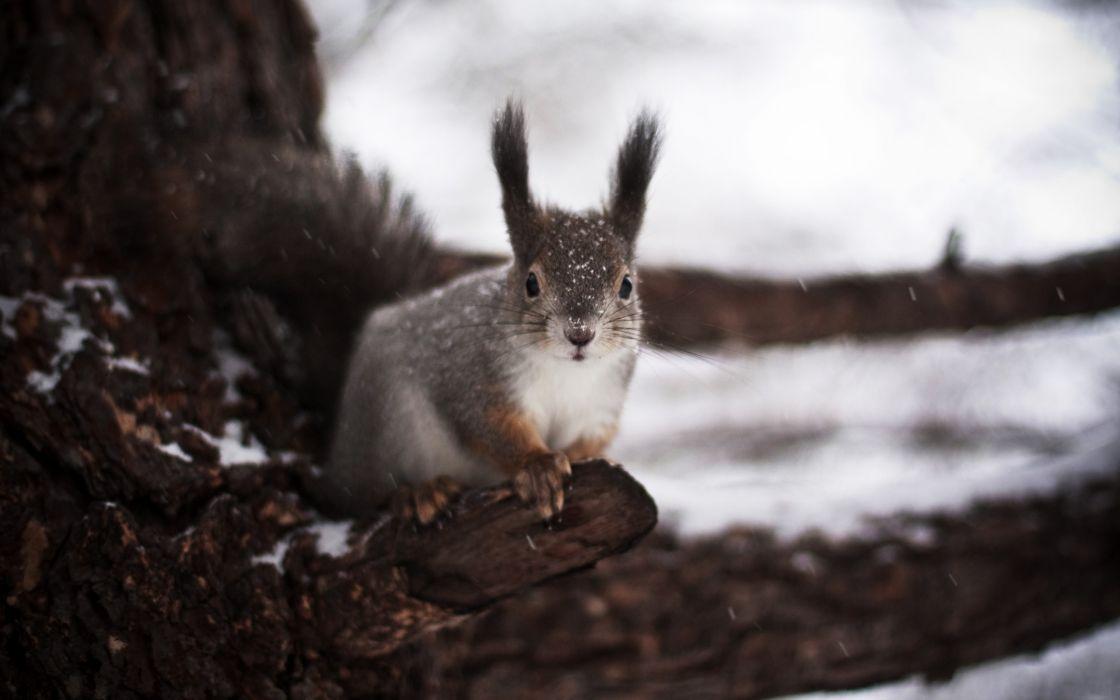 Winter squirrel wallpaper