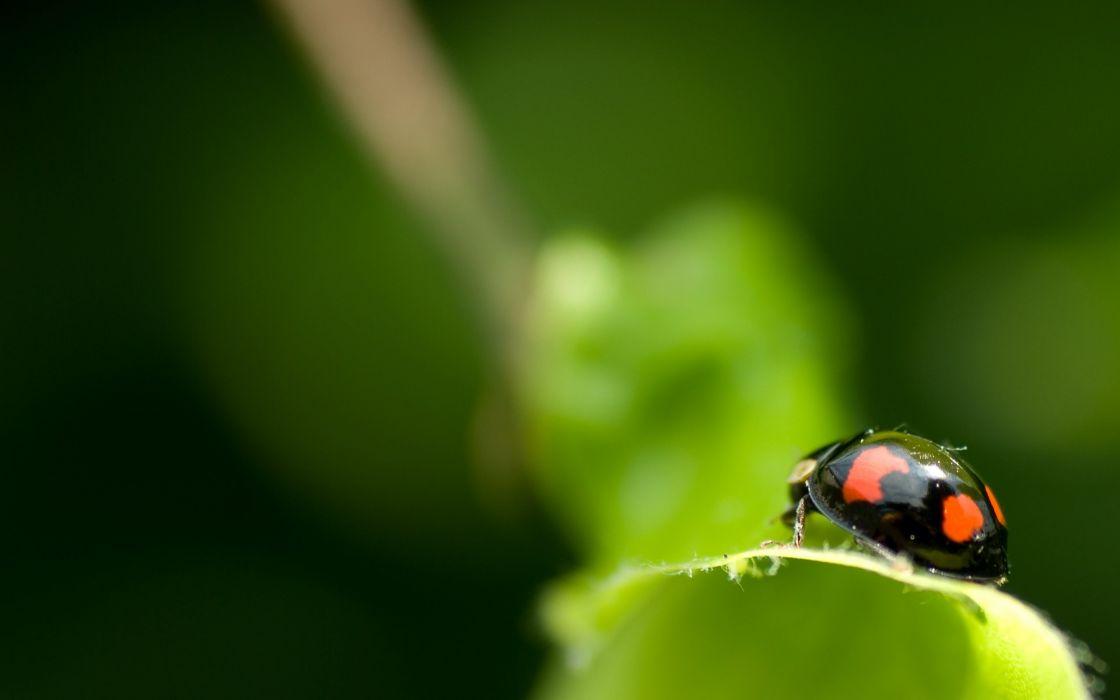 Black ladybug wallpaper