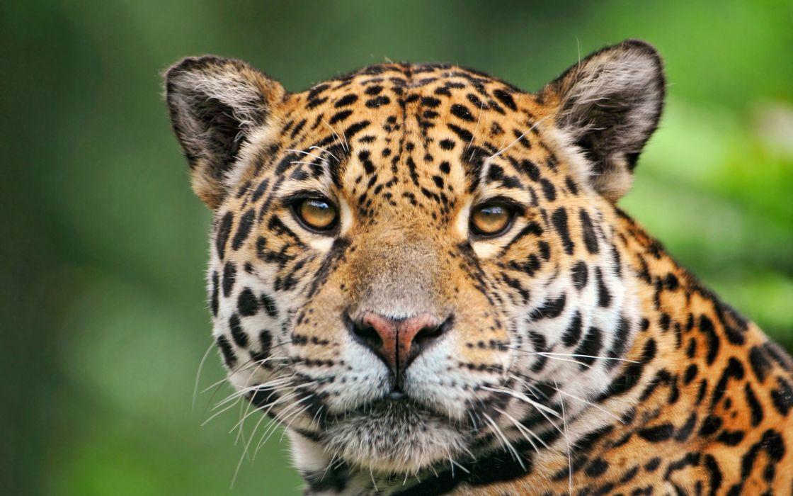 Jaguar of the tropical rainforest wallpaper
