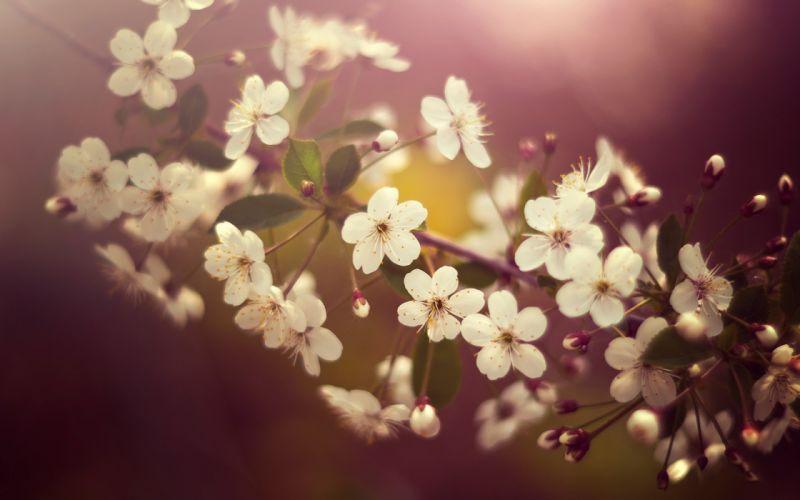 White cherry blossom wallpaper