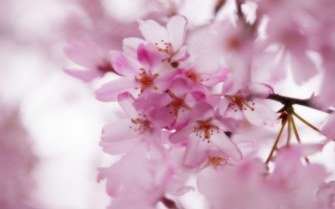 Pink cherry blossoms wallpaper