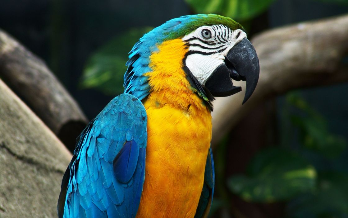 Blue wing parrot wallpaper