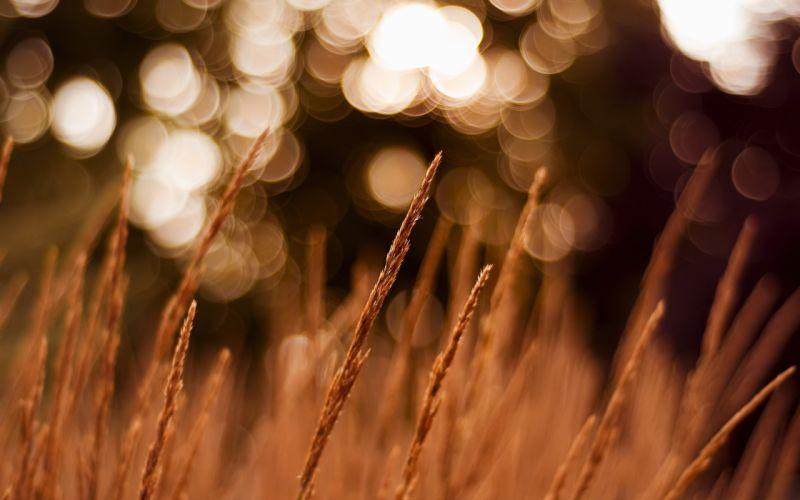 Wheat field with bokeh wallpaper