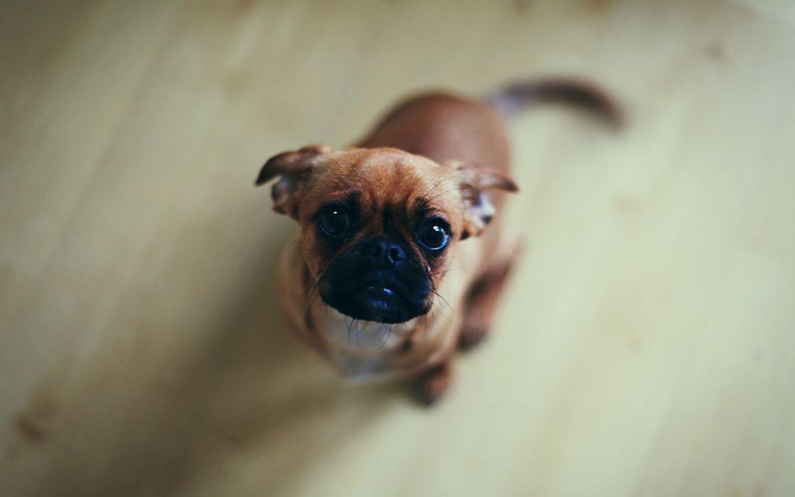 Curious dog wallpaper