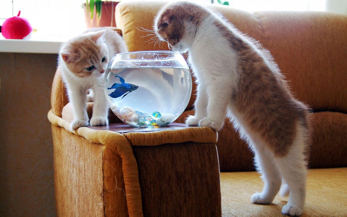 Two kitten watching a blue fish wallpaper