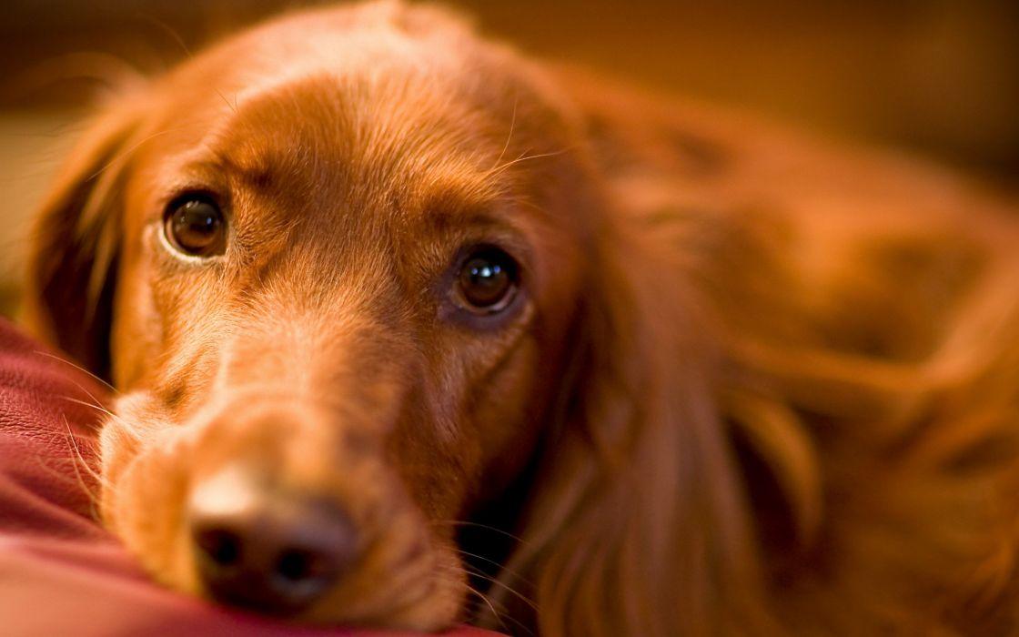 Sweet irish dog eyes wallpaper