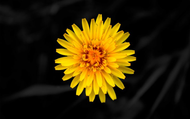 Yellow dandelion flower wallpaper