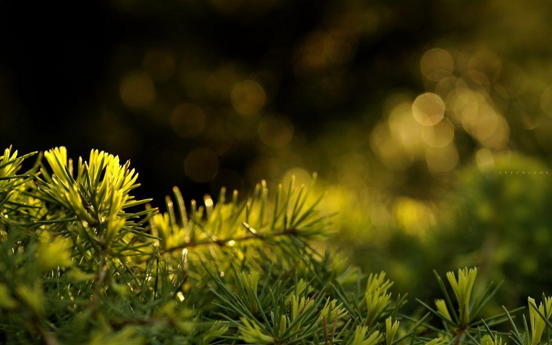 Fresh fir needles wallpaper