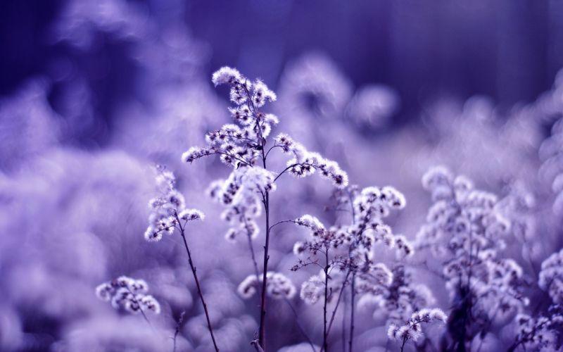 Dandelions on a purple background wallpaper