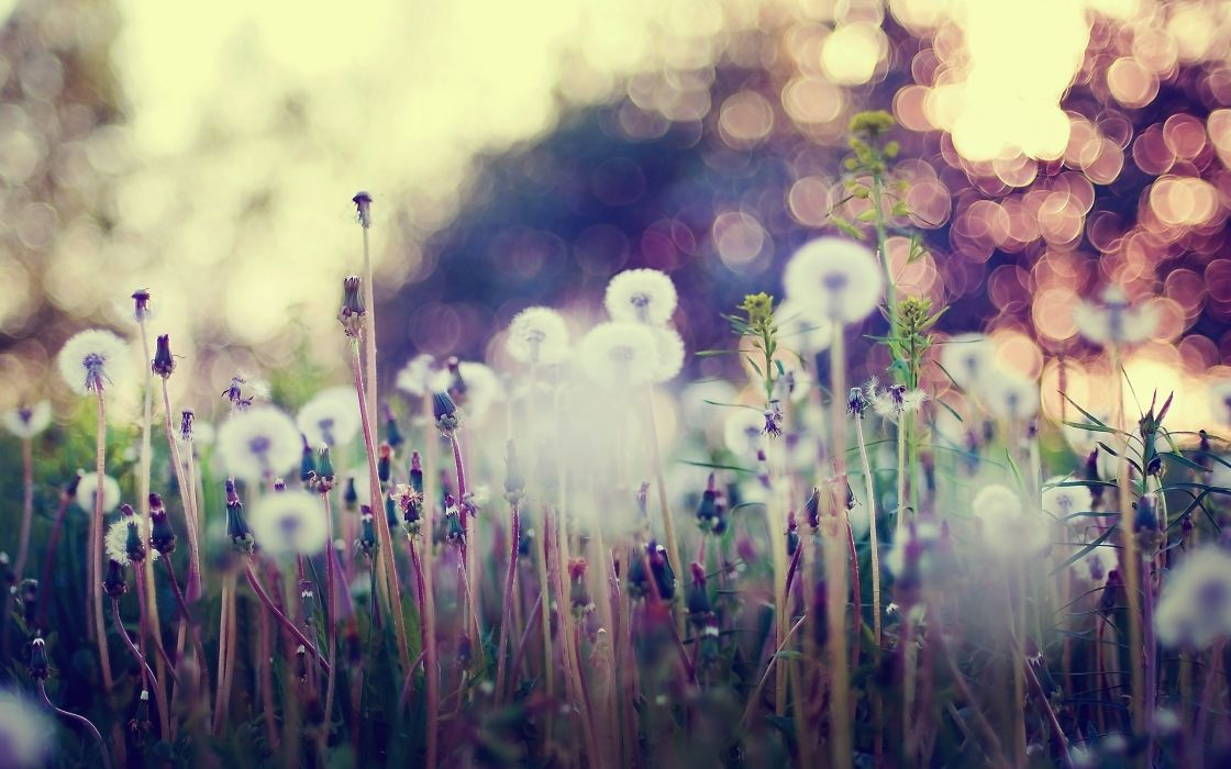 Dandelions and other flowers wallpaper