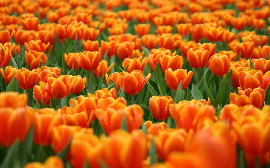 Orange tulips field wallpaper