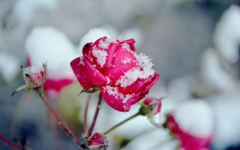 Snow on pink rose wallpaper