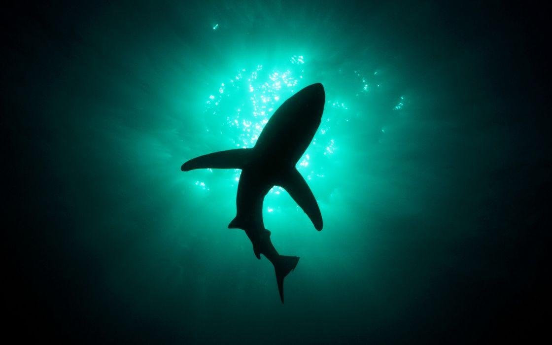 White shark bottom view wallpaper