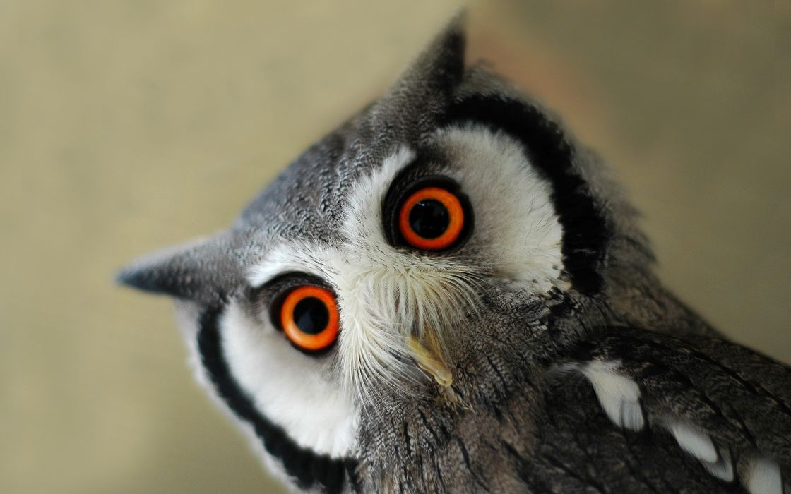 Northern white faced scops owl wallpaper