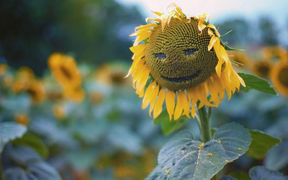 Sun flower face wallpaper
