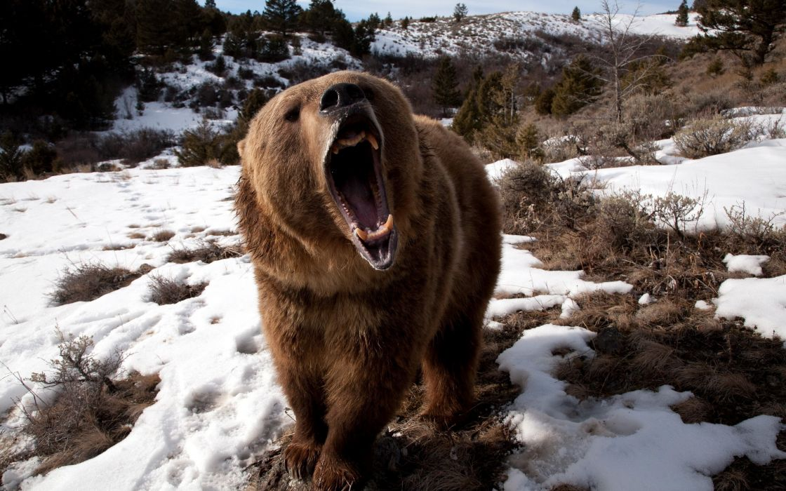 Angry bear wallpaper