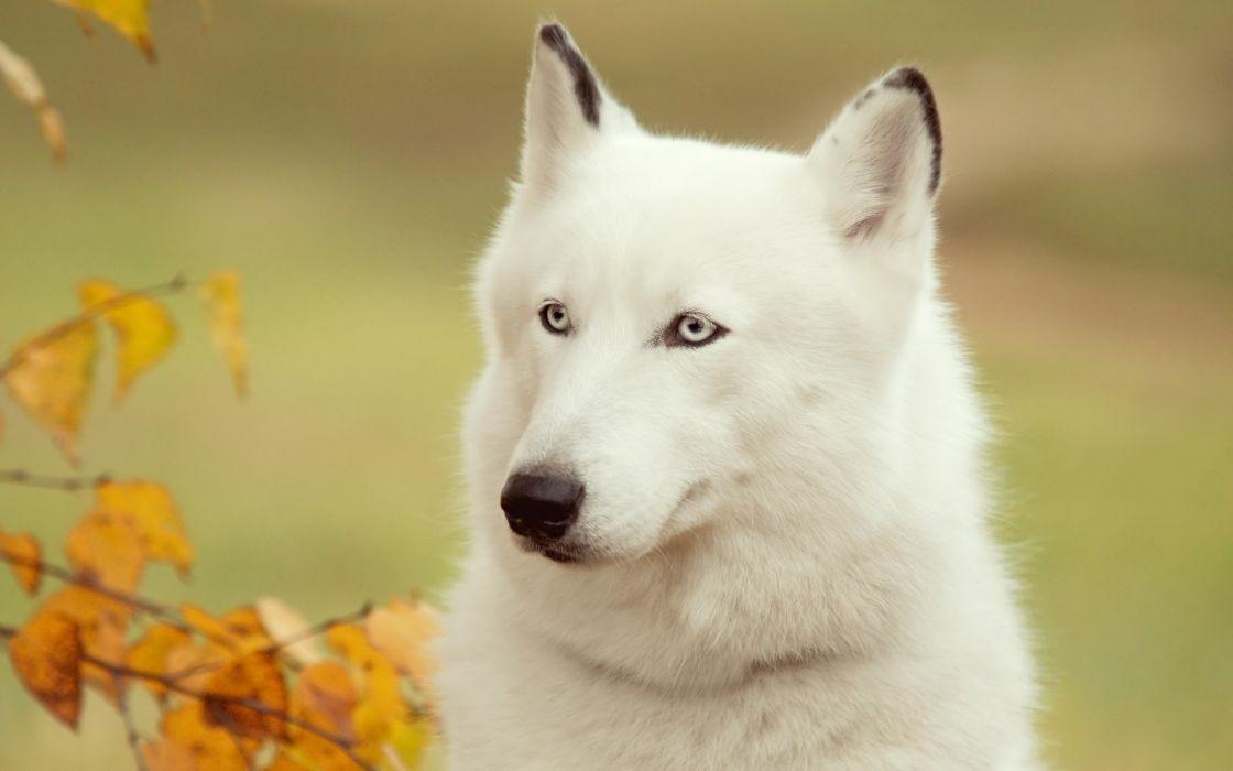 White husky wallpaper