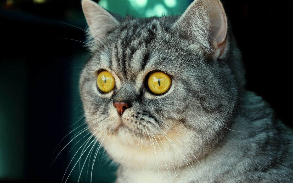 Cute cat with yellow eyes wallpaper