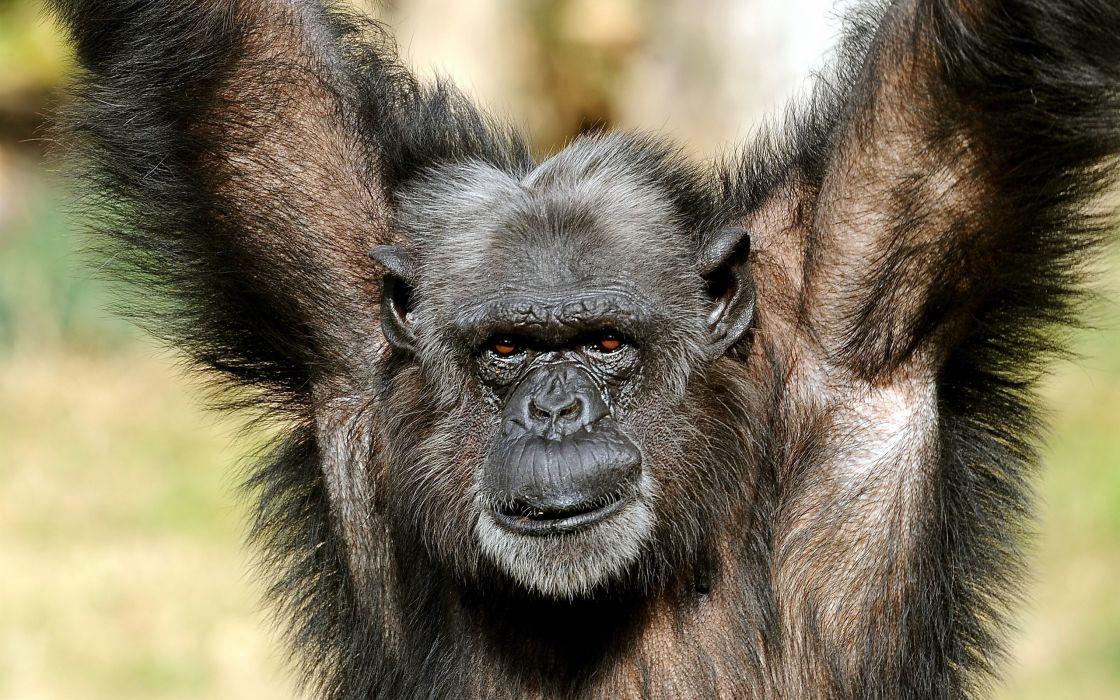 Happy monkey wallpaper
