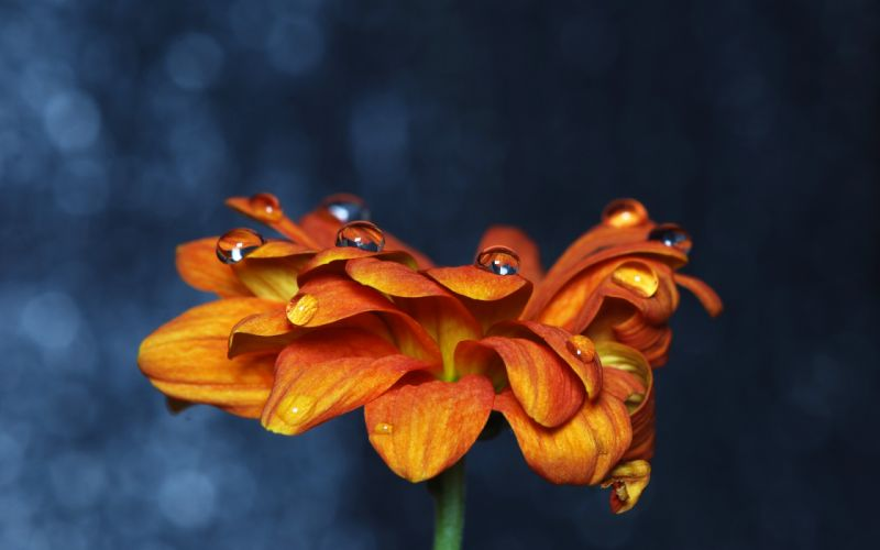 Orange flower with drops over it wallpaper