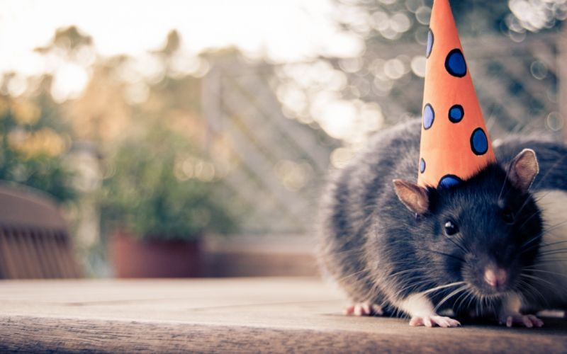 Mouse with a party hat wallpaper