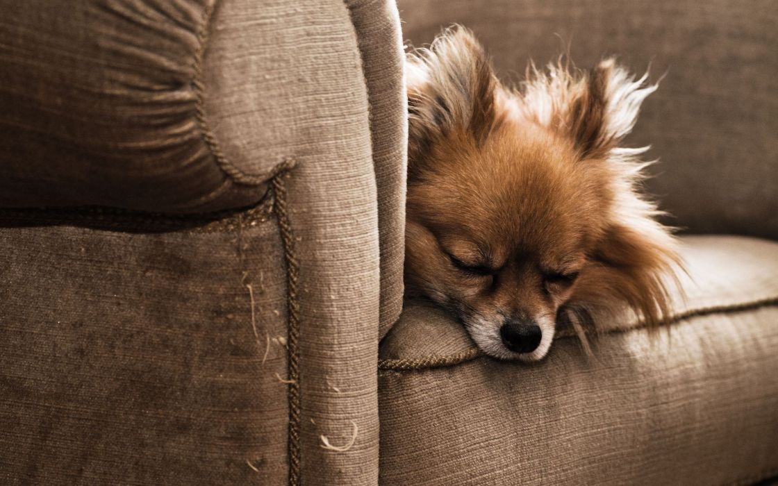 Dog on the armchair wallpaper