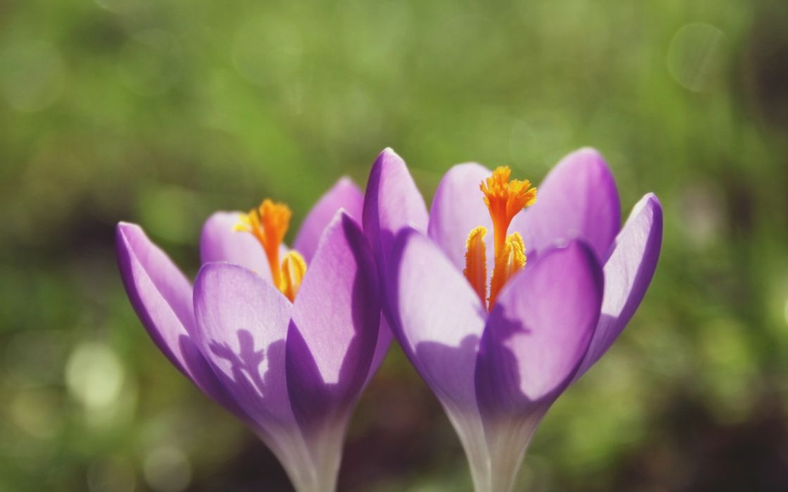 Two violet flowers wallpaper