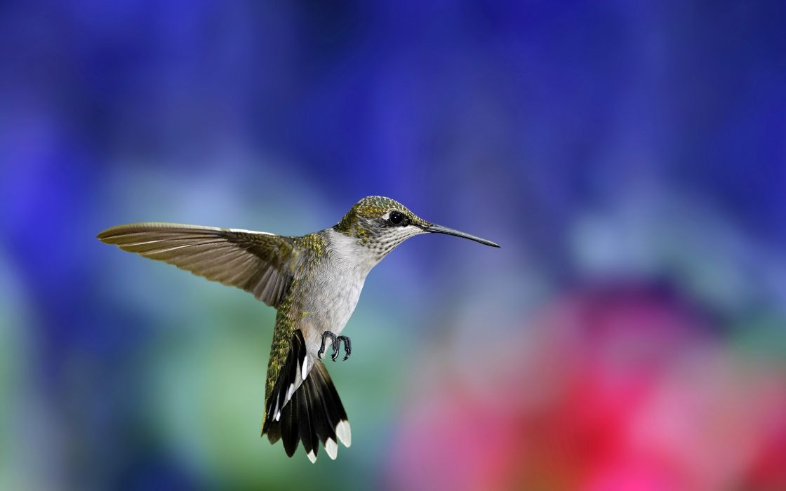 Flying hummingbird wallpaper