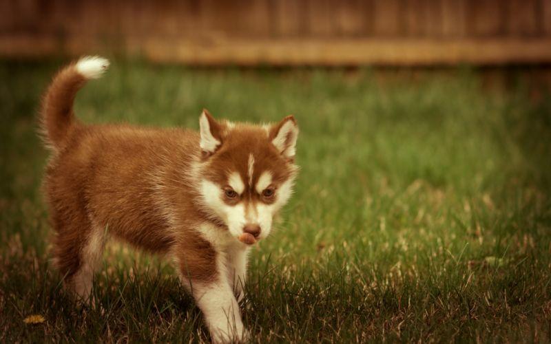 Puppy walks on the grass wallpaper