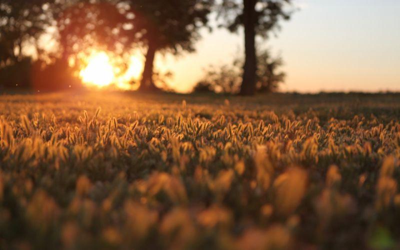 Sunset over grain field wallpaper