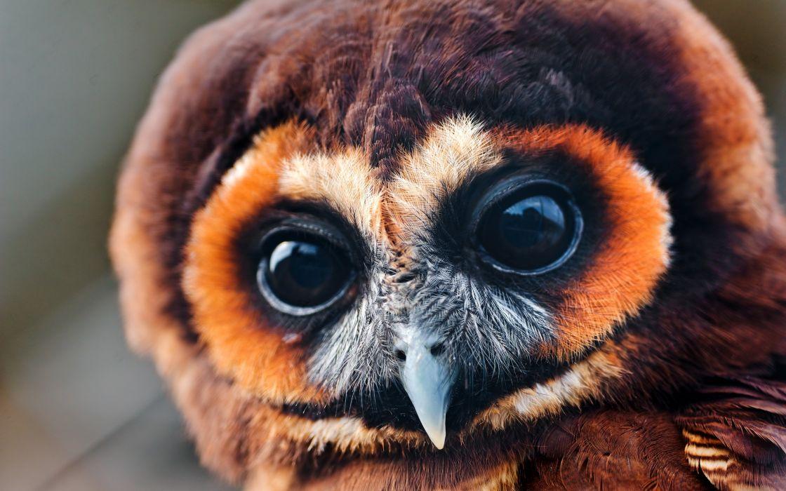 Pretty brown owl wallpaper