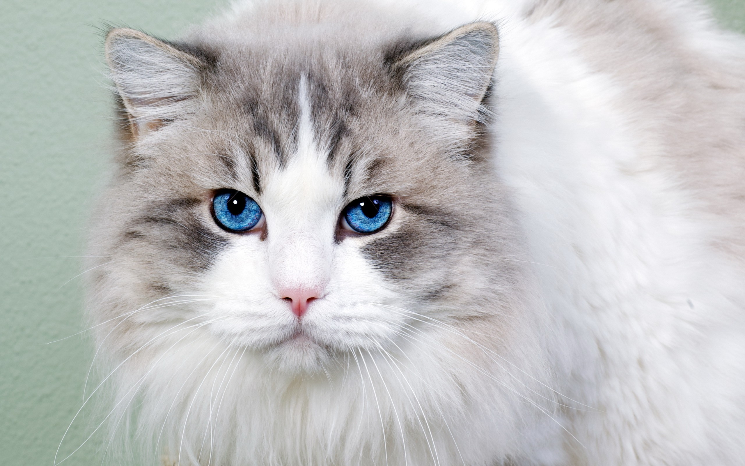 White cat with blue eyes wallpaper | 2560x1600 | 2753 ...