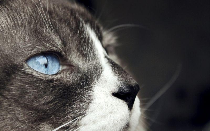 Cat's blue eyes wallpaper