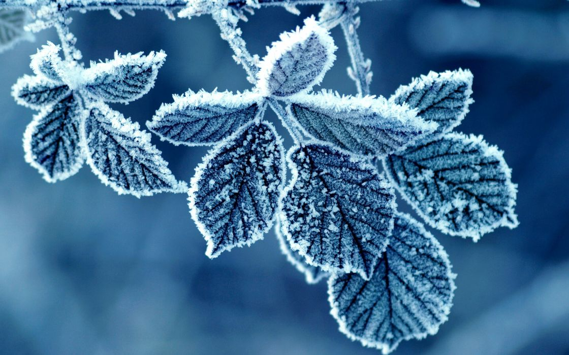 Blue frost leaves wallpaper