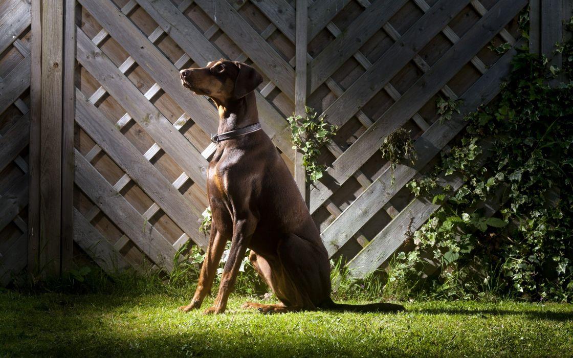 Dog sits on grass wallpaper