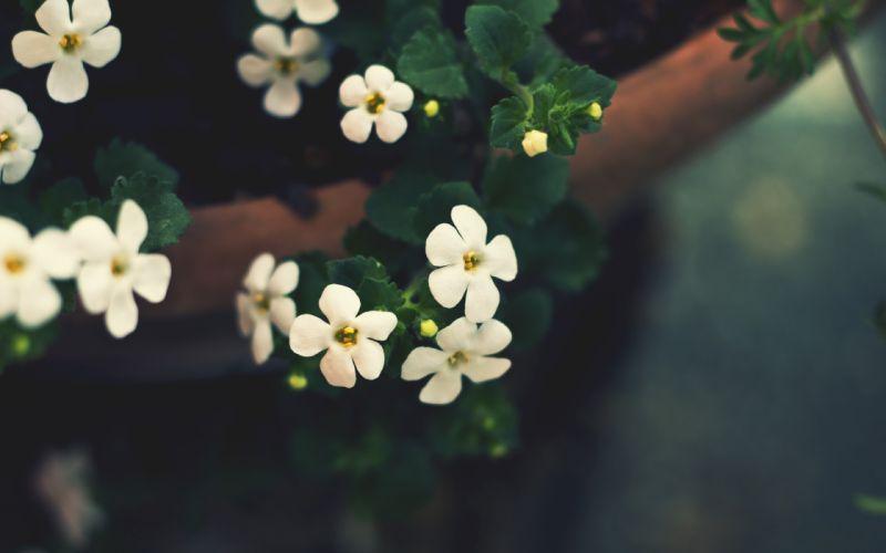 Cute white flowers wallpaper