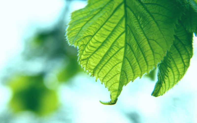 Green leaf with jagged edge wallpaper