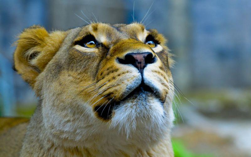 Lioness face wallpaper