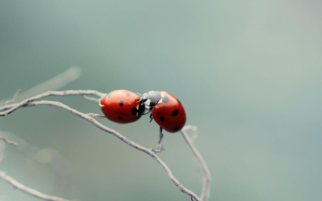 Ladybugs love couple wallpaper