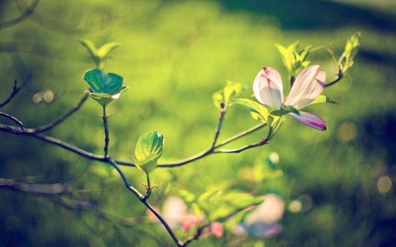 Magnolia blossoms wallpaper