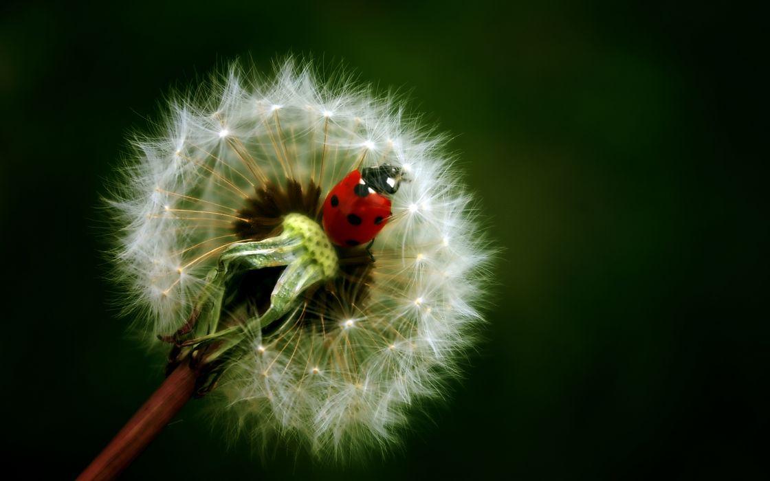 Ladybug on dandelion wallpaper