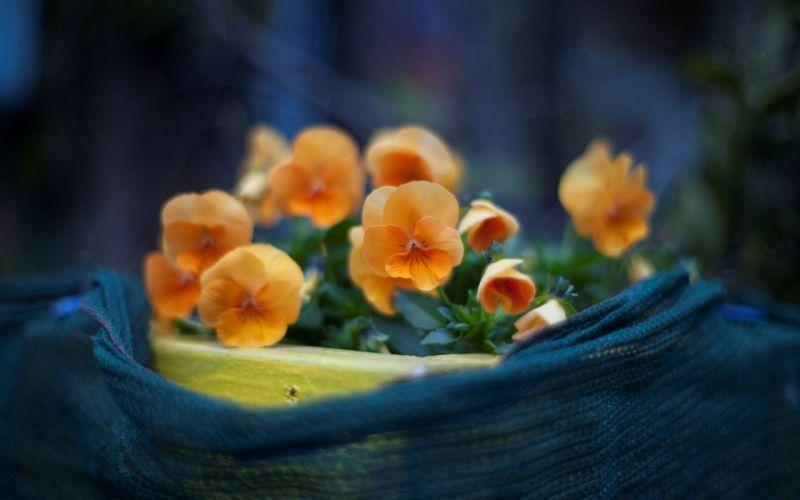 Orange pansy close-up wallpaper