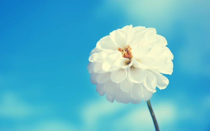 White flower and blue sky wallpaper