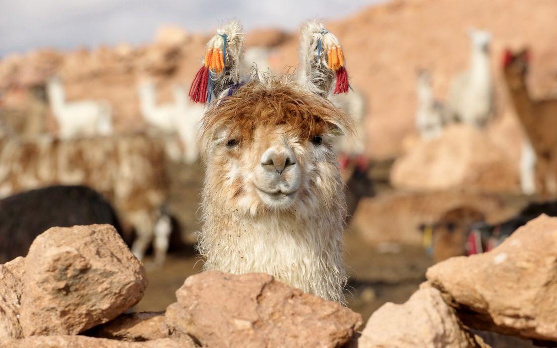 Funny lama wallpaper