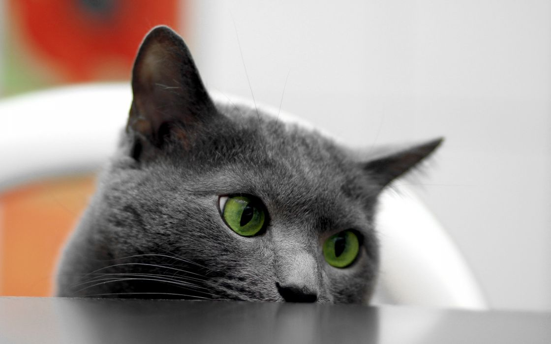 British shorthair with green eyes wallpaper