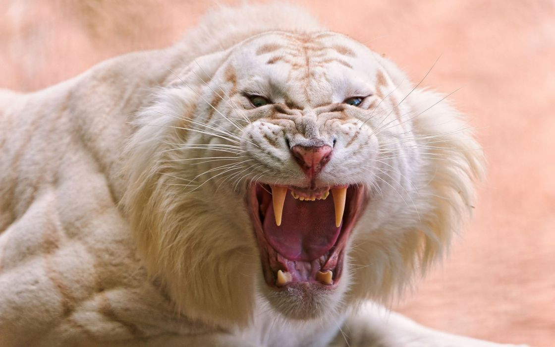 Angry white tiger wallpaper
