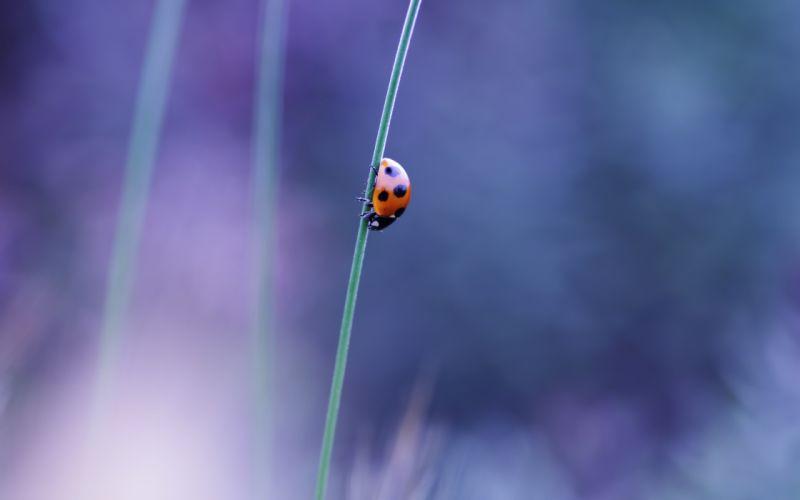 Ladybug on a blade of grass wallpaper