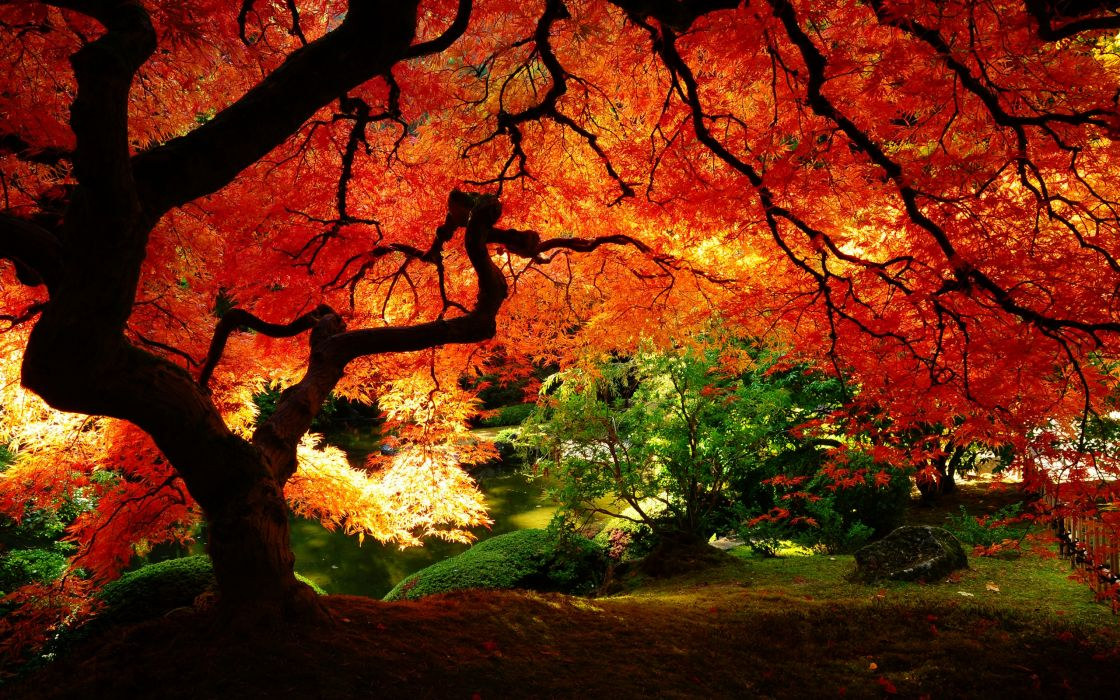 Maple in autumn wallpaper
